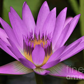 Water Lily in Pink by Banyan Ranch Studios