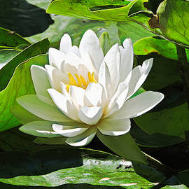 Water Lily by Susan Hope Finley