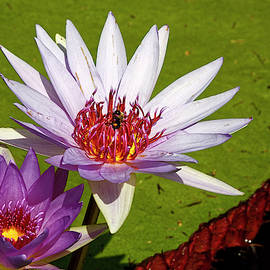 Waterlilies and Bee by Sally Weigand