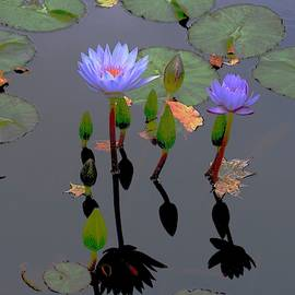 Waterlilies Dance With Leaves