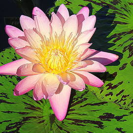 Water Lily Lovely in Pink by Dora Sofia Caputo Photographic Design and Fine Art