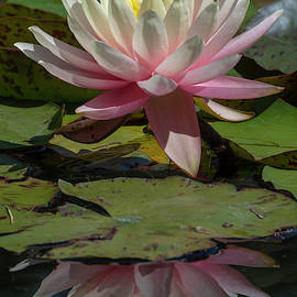 Waterlily Reflected 5/12 by Bruce Frye