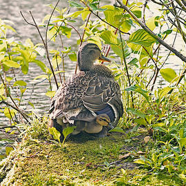 We are 6 ducklings with our Mommy by Asbed Iskedjian