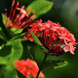 West Indian Jasmine by William Tasker