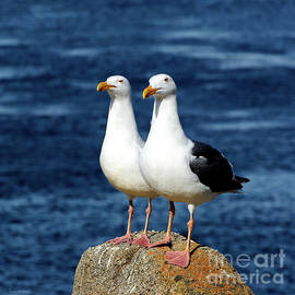 Western Gull Couple by Susan Wiedmann