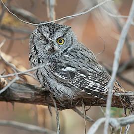 Western Screech Owl 7808  Otus kennicottii  by Michael Trewet