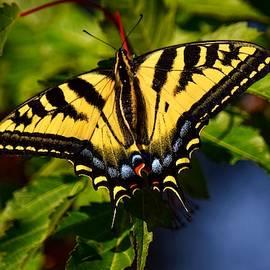Western Tiger Swallowtail by Dana Hardy