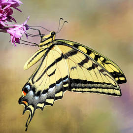 Western Tiger Swallowtail by Donna Kennedy