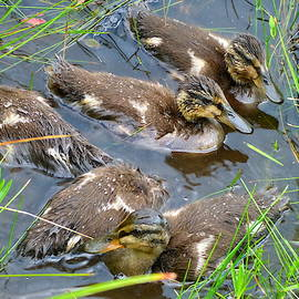 Lyuba Filatova - Wet Juvenile Mallard Ducks