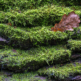 Wet moss, leaf on fallen oak tree bark, Bialowieza Forest, Poland by Robert Pastryk