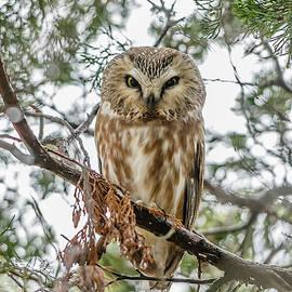 Wet Saw-Whet Owl by Morris Finkelstein