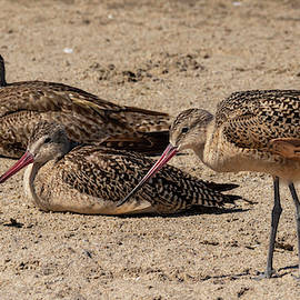 Whimbrel and Godwits Resting 8/20 by Bruce Frye