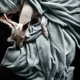 Whippet With Drapery by John Clum