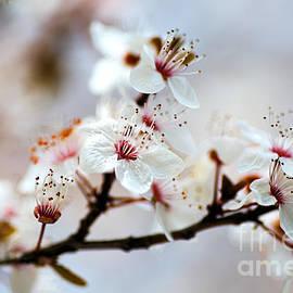 Whispering In White Blossom by Joy Watson