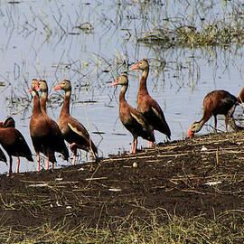 Whistling Ducks by Rosalie Scanlon