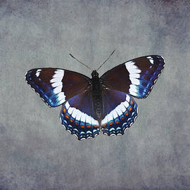 White Admiral Butterfly by Marlin and Laura Hum