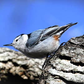 Kerri Farley - White-breasted Nuthatch - Claytor Lake State Park