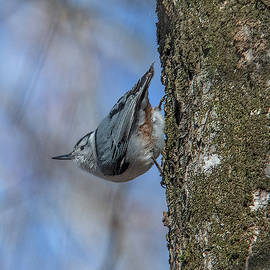 White-breasted Nuthatch Dsb0332 by Gerry Gantt