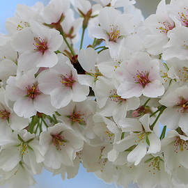 White Cherry Blossom 7 by Mary Anne Delgado
