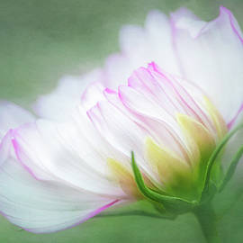 White Cosmos by Cyndy Doty