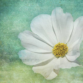 White Cosmos on Blue by Terry Davis