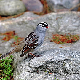 White Crowned Sparrow On The Rocks by Debbie Oppermann