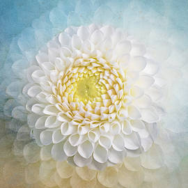 White Dahlia Cluster by Terry Davis