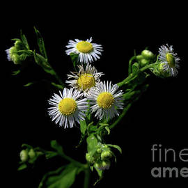 White Heath Aster by Michelle Meenawong