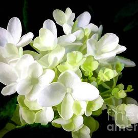 White Hydrangea With Black Background by Debra Lynch