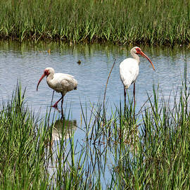 White Ibis in the Marsh by Paige Brown