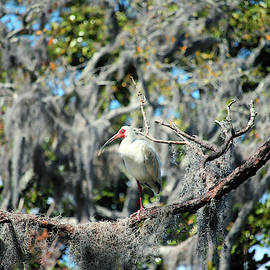 White Ibis Perched In A Tree by Cynthia Guinn
