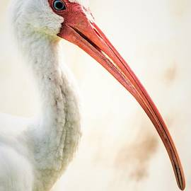 Mary Ann Artz - White Ibis Portrait - Vertical
