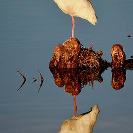 Richard Bryce and Family - White Ibis Reflecting