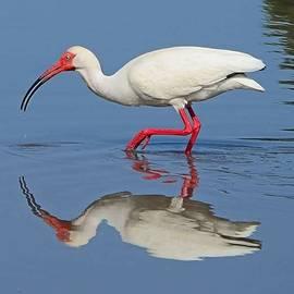 White Ibis by Vickie Hibler