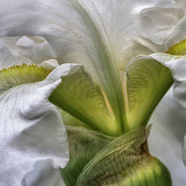 White Iris by Evie Carrier