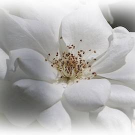 White Rose by Marlin and Laura Hum