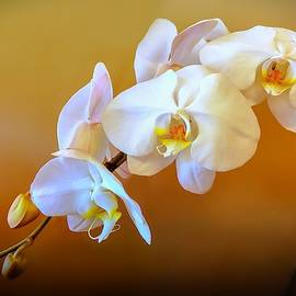 White Orchid Spray by Christina Ford