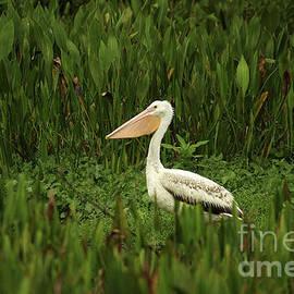 White Pelican by Darren Fisher