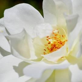 White Rose by Ritu Puppala