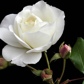 White Rose With Buds by Terence Davis