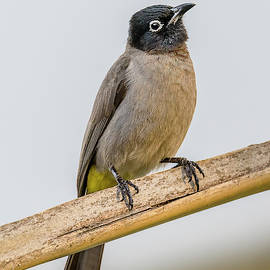 White Spectacled Bulbul by Morris Finkelstein