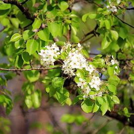 White Spring Blossoms by Cynthia Guinn