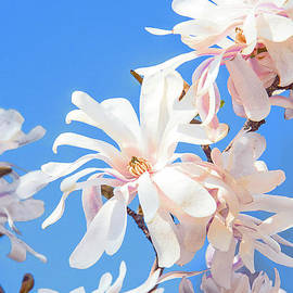 White Star Magnolia Blossoms by Regina Geoghan
