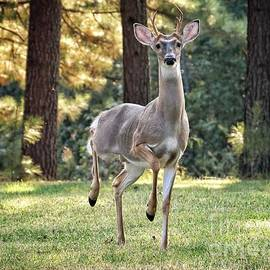 White Tailed Deer #143 by John Myers