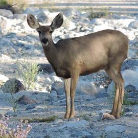 White Tank Mountain Mule Deer by Bill Tomsa