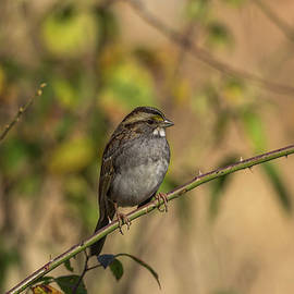 Jerry Owens - White-throated Sparrow - 8186
