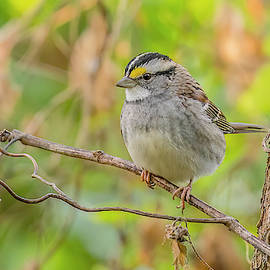 White Throated Sparrow In Autumn by Morris Finkelstein