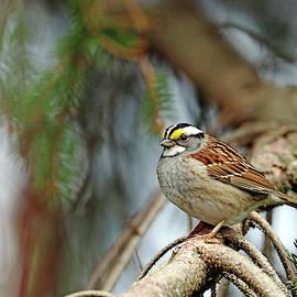 White Throated Sparrow In Spruce Tree by Debbie Oppermann