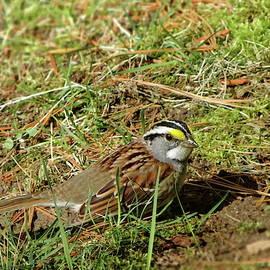 White-throated Sparrow by Lyuba Filatova
