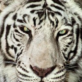 White Tiger Panthera Tigris Endangered Wildlife Rescue by Dave Welling